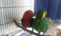 Male $780 and Female $680, still on spoon, ready very