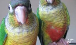 We have 3 Green Cheek Conures for sale.They are a