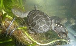 We have baby long neck turtles for sale. They are just