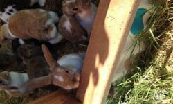 We have for sale 3 adorable lop babies. They are