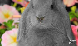 Mini lop, dwarf, dutch. Variety of colours. Solid and