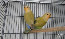 BABY LOVEBIRDS FOR SALE, 2 CINNAMON ORANGEFACE