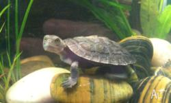 Cyril is a baby Macleay river freshwater turtle who