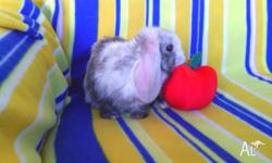 Hi, i have for sale 4 adorable purebred dwarf lop