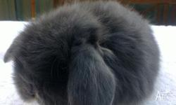 I have a range of baby mini lops for sale. I have many