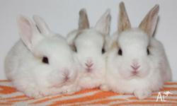 I have a few baby bunnies for sale at the moment. I