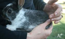 I have 6 baby netherland dwarf bunnies for sale. Both