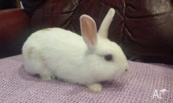 2 month old baby norwegian dwarf rabbits for sale 4
