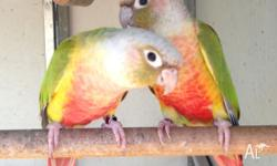 conures Classifieds - Buy & Sell conures across Australia page 3