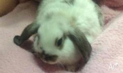 beautiful and adorable baby pure bred mini lop rabbits