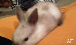 1x white/grey baby rabbit , ready for her new home ASAP