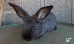 California cross Flemish Giant rabbits 6 weeks old, 6