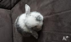 I have some baby dwarf lop eared rabbits for sale. $25