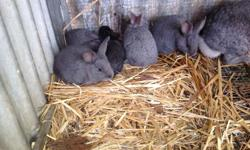 6 female and 2 male baby rabbits for sale Ready to go 8