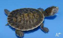 We have LOTS of baby Short-Neck Turtles available. All