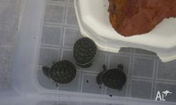 HI I have 6 baby turtles for sale, they are only tiny