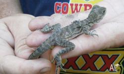 Baby Water Dragons, unsexed, local pickup only License