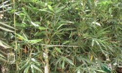 Bamboo Bambusa Oldhamii grows to 12mts tall available