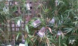 Bamboo Bambusa lako Timor Black available in 30cm pots