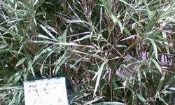Bamboo Malay Dwarf Variegated grows to 3mts tall