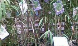 Bamboo Nepalese Blue grows to 3mts available in 30cm