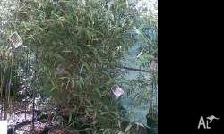 Bamboo Phyllostachys Nigra Black Bamboo available in 30