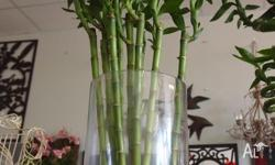Bamboo Stems Lucky Bamboo Tall Straight Fresh Live