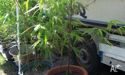 I have for sale 2 Timor Black Bamboo plants , they grow