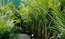 Bangalow Palms multi planted 25cm pots $30.00 each and
