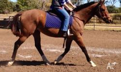 16.2hh 4 1/2 year old, bay TB gelding, used for trail