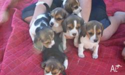 Pure Bred English Beagle Puppies 5x Female and 1 Male