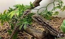 Juvenile Bearded Dragons for sale. Very active,