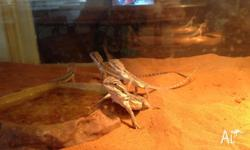Central Bearded Dragon 6 month old juveniles. Feeding