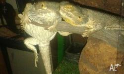 Hi : ) I have a male coastal bearded dragon up for