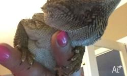 Elliot is a 3 year old Male Bearded Dragon. I'm selling
