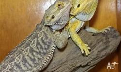 Selling a pair of bearded dragons , high yellow male