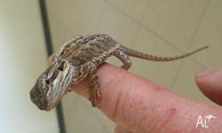 2 healthy bearded dragons. (Male and Female) $80.00