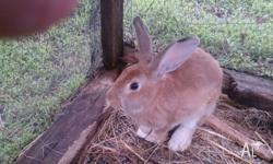 I have for sale this lovely four month old Flemish