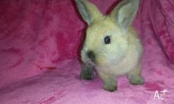 FOR SALE 4 beautiful baby bunnies. We are 6 weeks old