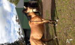 Indi is a 15.2 Quarter horse mare. Indi is a lovely