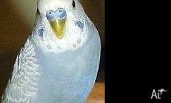 Budgies for sale Many colours $25 each Come to Auburn,