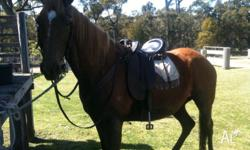 Beautiful stock horse mare, 15.1 hands, a young 21.