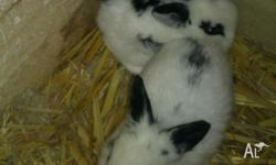 i have 6 beautiful couloured baby bunnies ready for new