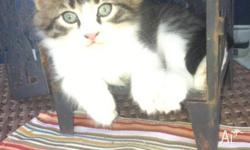 Male tabby and white 4 white socks and chest very