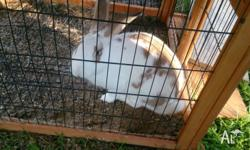 Beautiful Flemish Giant buck for sale, he is a very