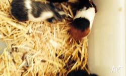 Beautiful guinea pigs for sale. three of them bro and