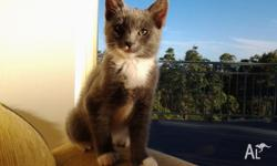 She is an adorable 3 month old Manx, allergy free cat,