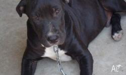 Black male pup 20 weeks old Beautiful with children and