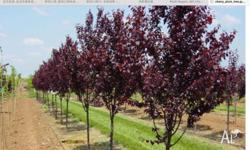 2 meters tall beautiful plum flowering tree, healthy