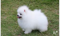 Beautiful Pomeranian puppies just turned 12 weeks and